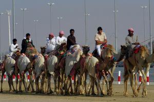 De kamelen voor de training