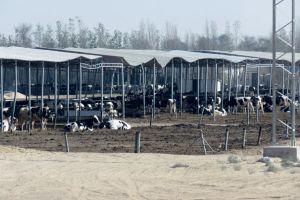 Melkveebedrijf in Abu Dhabi