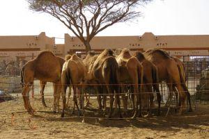 Kamelen te koop