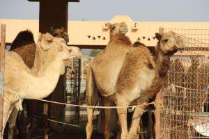 Kamelen op de markt