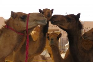 Kamelen op de kamelenmarkt